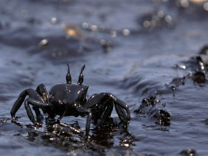 pollution-oil-covered-crab